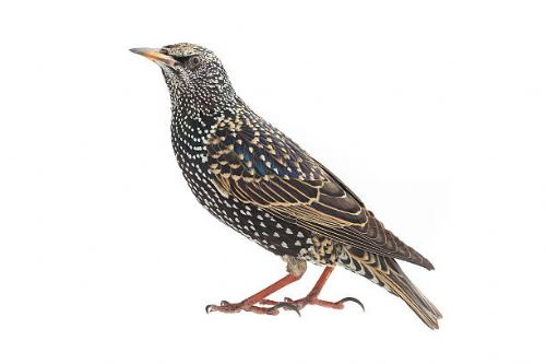 Starling Control
